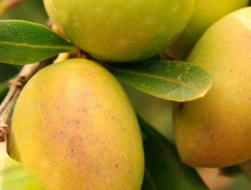 tipos de aceitunas aceituna picuda mueloliva