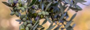 Comprar aceite de oliva virgen extra Mueloliva